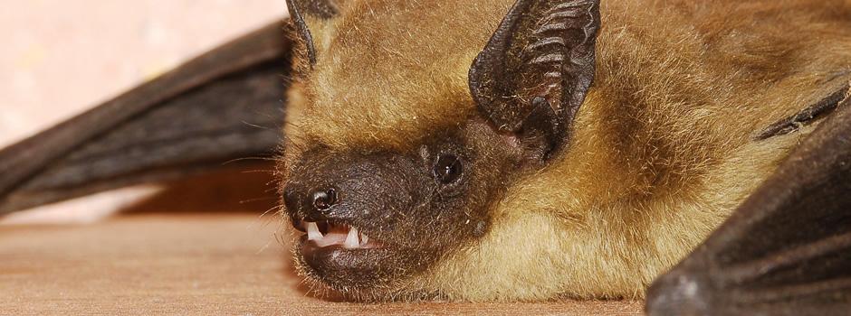 Shepherdsville Bat Control