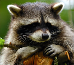 Raccoon control in Shepherdsville