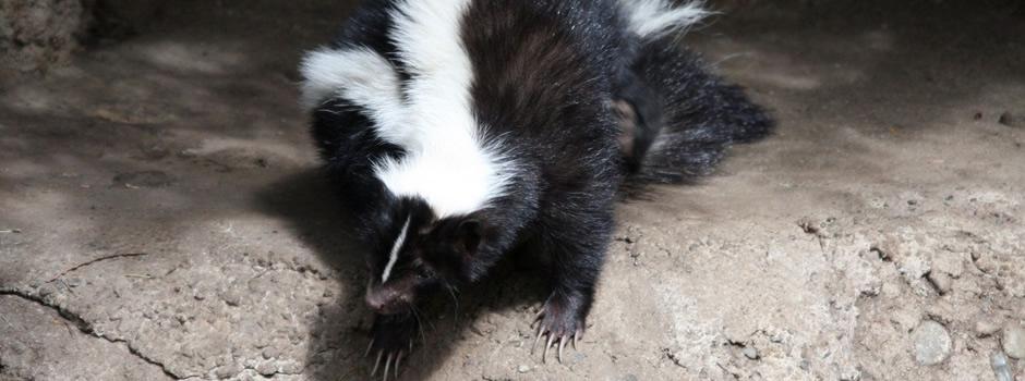Skunk Control Shepherdsville